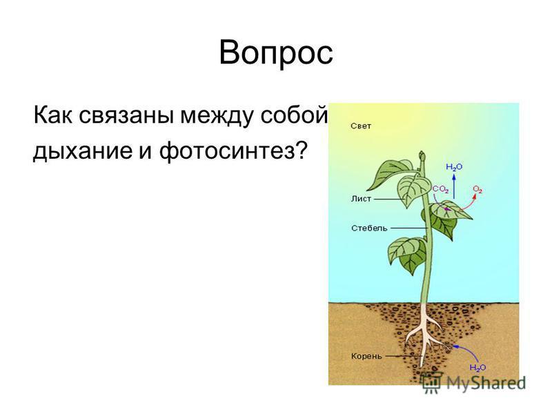 Вопрос Как связаны между собой дыхание и фотосинтез?