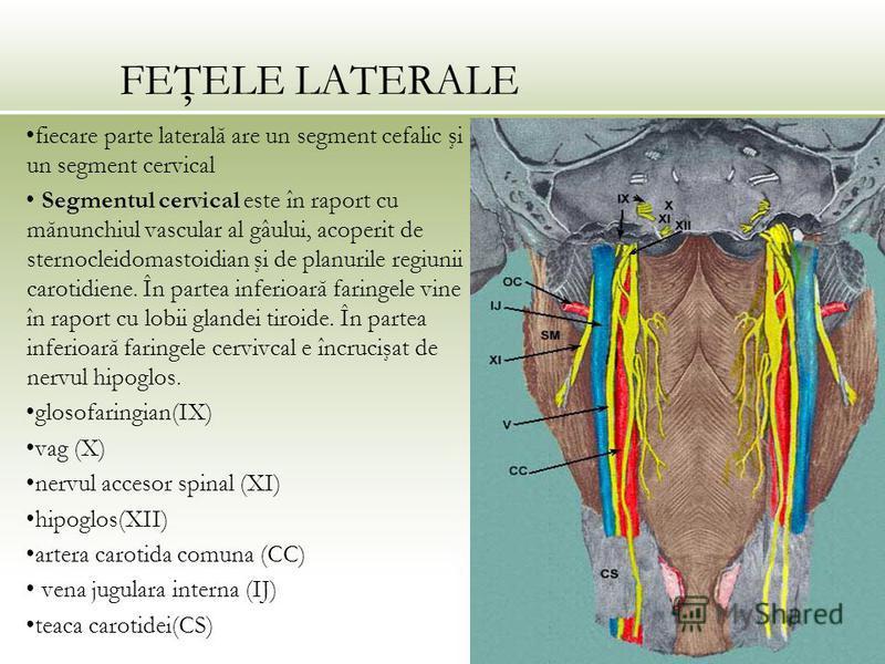 FEŢELE LATERALE fiecare parte laterală are un segment cefalic şi un segment cervical Segmentul cervical este în raport cu mănunchiul vascular al gâului, acoperit de sternocleidomastoidian şi de planurile regiunii carotidiene. În partea inferioară far