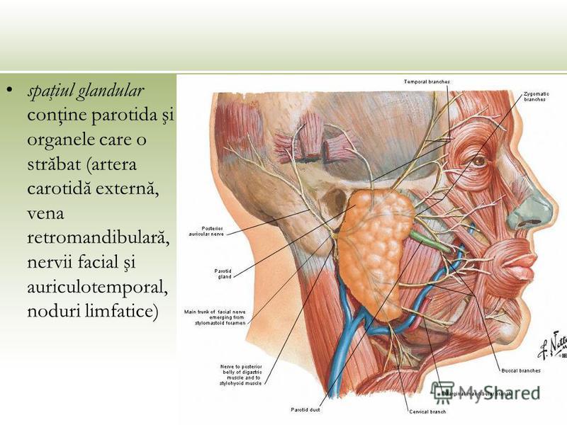 spaţiul glandular conţine parotida şi organele care o străbat (artera carotidă externă, vena retromandibulară, nervii facial şi auriculotemporal, noduri limfatice)