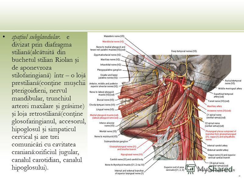 spaţiul subglandular. e divizat prin diafragma stiliană(alcătuită din buchetul stilian Riolan şi de aponevroza stilofaringiană) într – o lojă prestiliană(conţine muşchii pterigoidieni, nervul mandibular, trunchiul arterei maxilare şi grăsime) şi loja