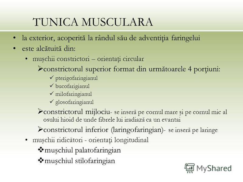 TUNICA MUSCULARA la exterior, acoperită la rândul său de adventiţia faringelui este alcătuită din: muşchii constrictori – orientaţi circular constrictorul superior format din următoarele 4 porţiuni: pterigofaringianul bucofarigianul milofaringianul g