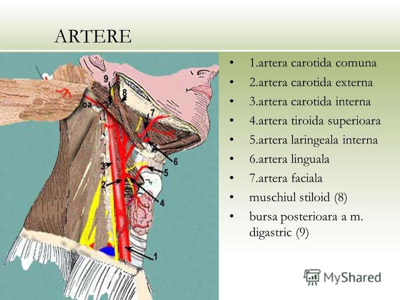 ARTERE 1.artera carotida comuna 2.artera carotida externa 3.artera carotida interna 4.artera tiroida superioara 5.artera laringeala interna 6.artera linguala 7.artera faciala muschiul stiloid (8) bursa posterioara a m. digastric (9)
