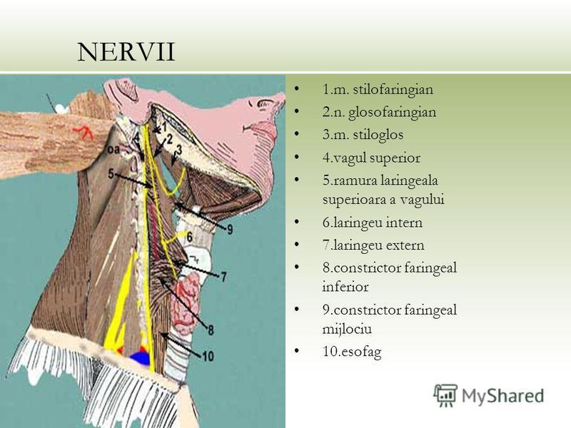 NERVII 1.m. stilofaringian 2.n. glosofaringian 3.m. stiloglos 4.vagul superior 5.ramura laringeala superioara a vagului 6.laringeu intern 7.laringeu extern 8.constrictor faringeal inferior 9.constrictor faringeal mijlociu 10.esofag