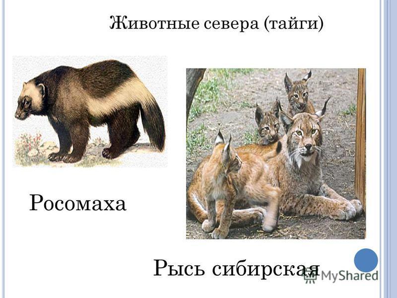 Рысь сибирская Росомаха Животные севера (тайги)
