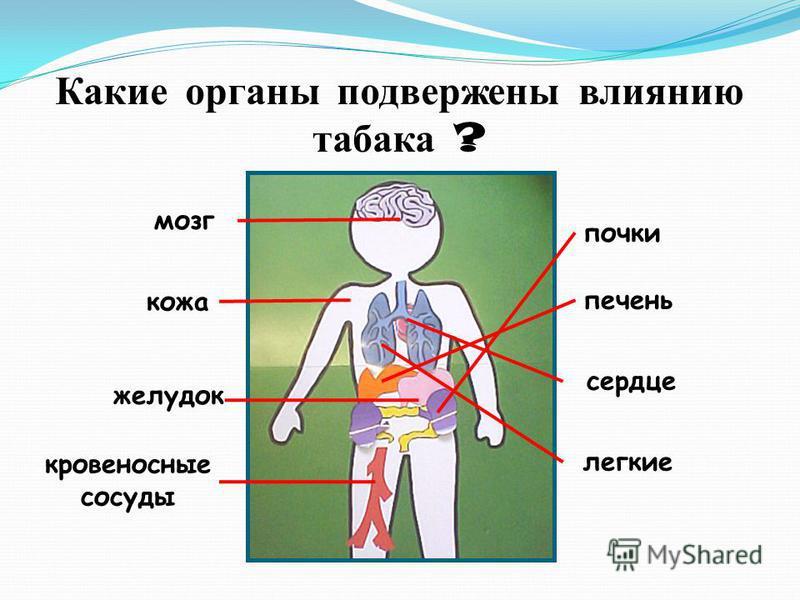 Какие органы подвержены влиянию табака ? мозг кожа желудок кровеносные сосуды почки печень сердце легкие