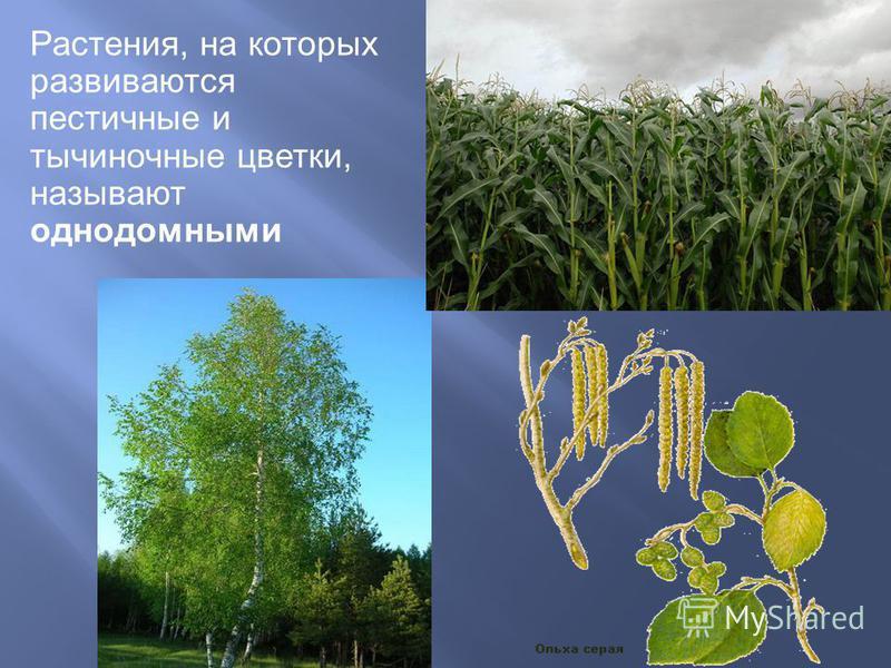 Растения, на которых развиваются пестичные и тычиночные цветки, называют однодомными
