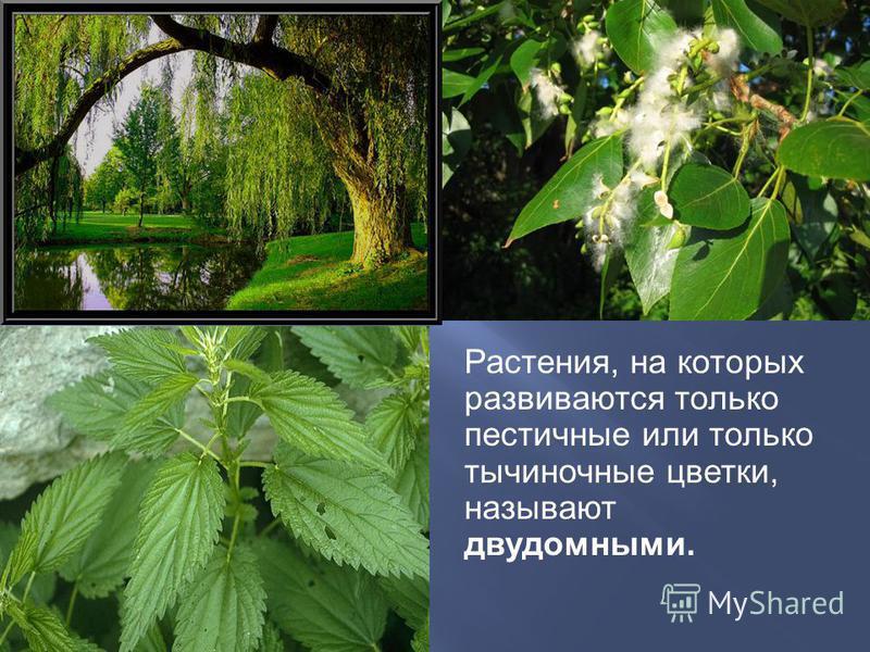 Растения, на которых развиваются только пестичные или только тычиночные цветки, называют двудомными.