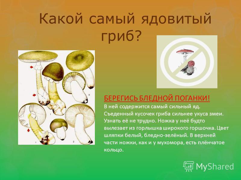 Какой самый ядовитый гриб? БЕРЕГИСЬ БЛЕДНОЙ ПОГАНКИ! В ней содержится самый сильный яд. Съеденный кусочек гриба сильнее укуса змеи. Узнать её не трудно. Ножка у неё будто вылезает из горлышка широкого горшочка. Цвет шляпки белый, бледно-зелёный. В ве