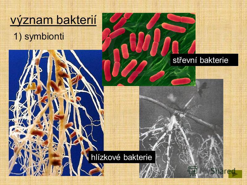 význam bakterií 1) symbionti hlízkové bakterie střevní bakterie