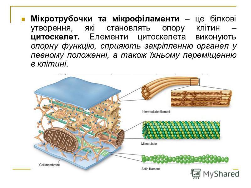 Мікротрубочки та мікрофіламенти – це білкові утворення, які становлять опору клітин – цитоскелет. Елементи цитоскелета виконують опорну функцію, сприяють закріпленню органел у певному положенні, а також їхньому переміщенню в клітині.