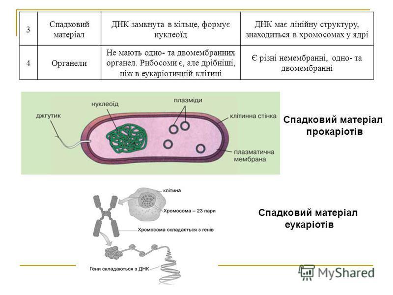 3 Спадковий матеріал ДНК замкнута в кільце, формує нуклеоїд ДНК має лінійну структуру, знаходиться в хромосомах у ядрі 4Органели Не мають одно- та двомембранних органел. Рибосоми є, але дрібніші, ніж в еукаріотичній клітині Є різні немембранні, одно-