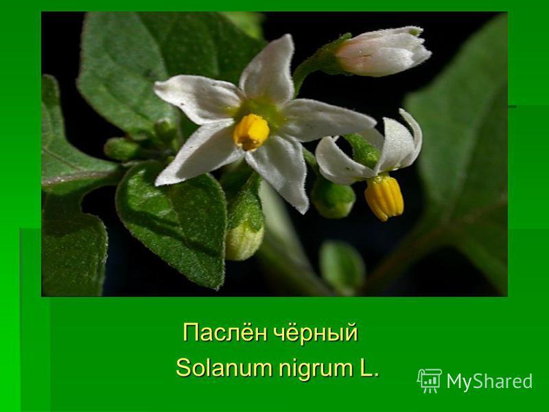 Паслён чёрный Паслён чёрный Solanum nigrum L. Solanum nigrum L.