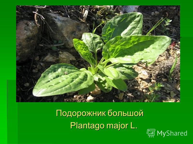 Подорожник большой Подорожник большой Plantago major L. Plantago major L.