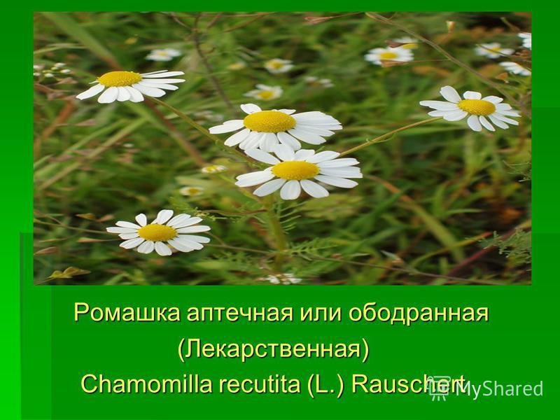 Ромашка аптечная или ободранная Ромашка аптечная или ободранная (Лекарственная) (Лекарственная) Chamomilla recutita (L.) Rauschert Chamomilla recutita (L.) Rauschert