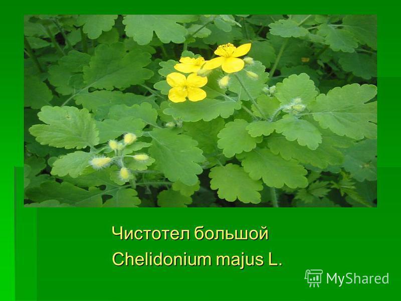 Чистотел большой Чистотел большой Chelidonium majus L. Chelidonium majus L.