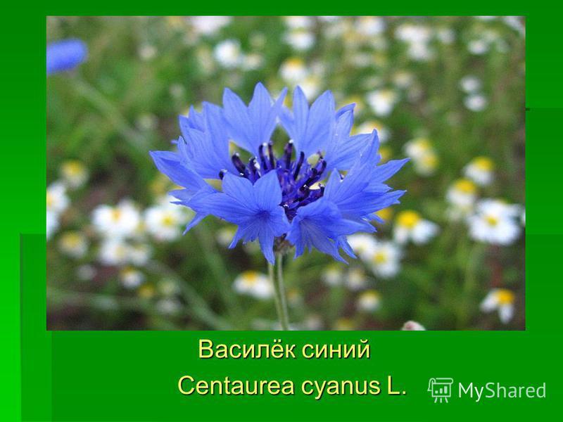 Василёк синий Василёк синий Centaurea cyanus L. Centaurea cyanus L.