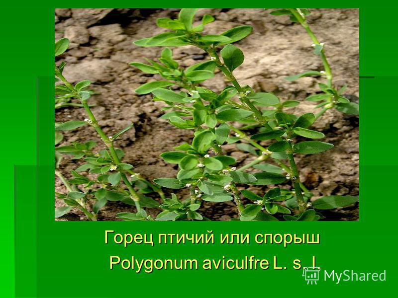 Горец птичий или спорыш Горец птичий или спорыш Polygonum aviculfre L. s. I. Polygonum aviculfre L. s. I.