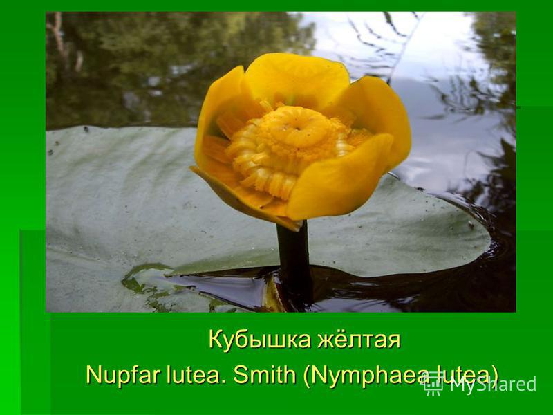 Кубышка жёлтая Кубышка жёлтая Nupfar lutea. Smith (Nymphaea lutea) Nupfar lutea. Smith (Nymphaea lutea)