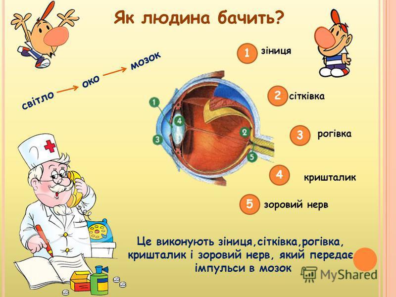 1 2 3 4 5 зіниця сітківка рогівка кришталик зоровий нерв Як людина бачить? світло око мозок Це виконують зіниця,сітківка,рогівка, кришталик і зоровий нерв, який передає імпульси в мозок