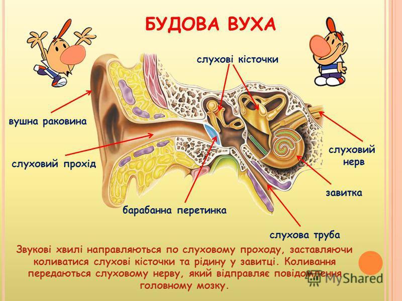 БУДОВА ВУХА вушна раковина слуховий прохід барабанна перетинка завитка слухові кісточки слухова труба Звукові хвилі направляються по слуховому проходу, заставляючи коливатися слухові кісточки та рідину у завитці. Коливання передаються слуховому нерву