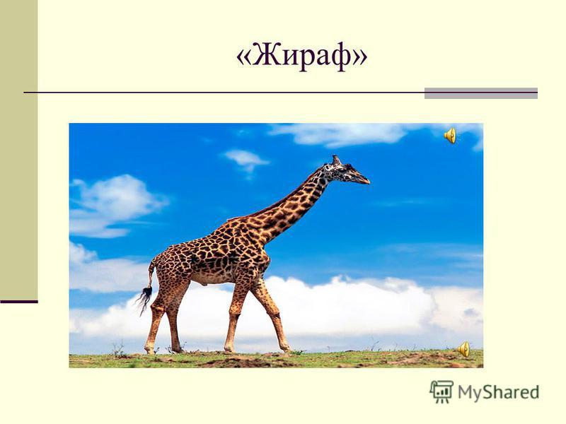 «Жираф»
