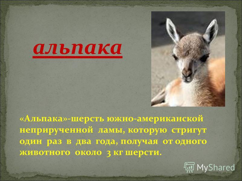 «Альпака»-шерсть южно-американской неприрученной ламы, которую стригут один раз в два года, получая от одного животного около 3 кг шерсти. альпака