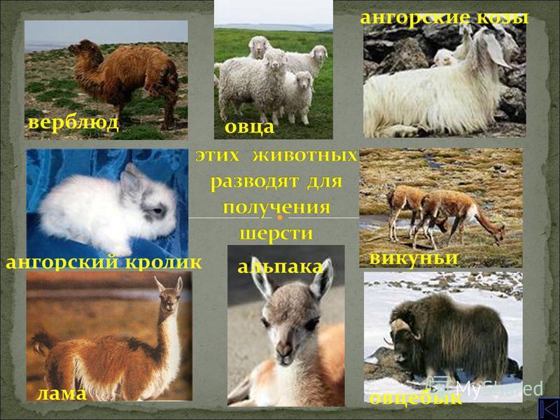 верблюд овца ангорский кролик ангорские козы викуньи овцебык лама альпака