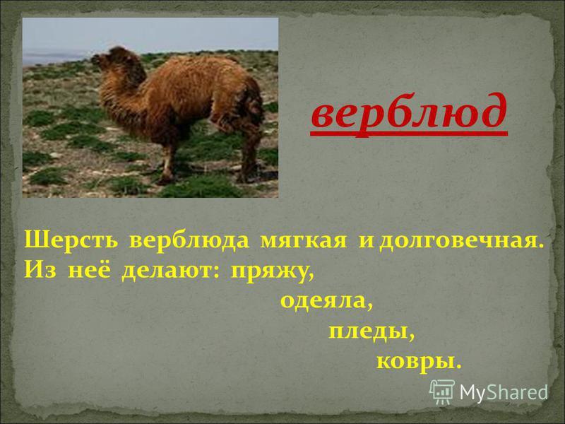 Шерсть верблюда мягкая и долговечная. Из неё делают: пряжу, одеяла, пледы, ковры. верблюд
