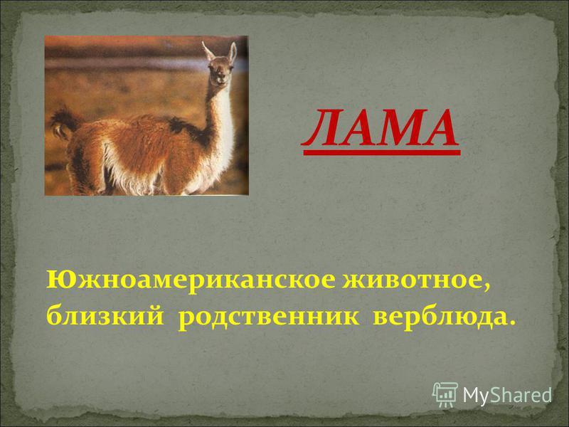 южноамериканское животное, близкий родственник верблюда. ЛАМА