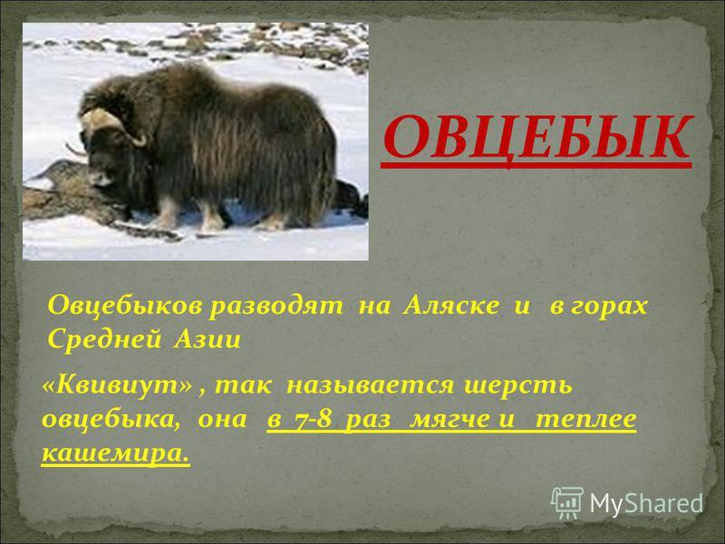 Овцебыков разводят на Аляске и в горах Средней Азии «Квивиут», так называется шерсть овцебыка, она в 7-8 раз мягче и теплее кашемира. ОВЦЕБЫК