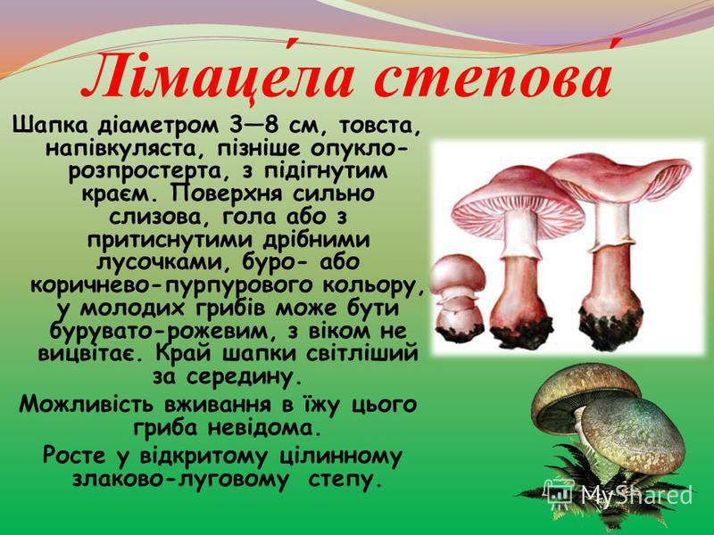 Лімаце́ла степова́ Шапка діаметром 38 см, товста, напівкуляста, пізніше опукло- розпростерта, з підігнутим краєм. Поверхня сильно слизова, гола або з притиснутими дрібними лусочками, буро- або коричнево-пурпурового кольору, у молодих грибів може бути