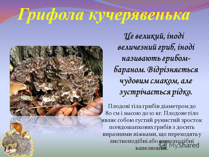 Грифола кучерявенька Це великий, іноді величезний гриб, іноді називають грибом- бараном. Відрізняється чудовим смаком, але зустрічається рідко. Плодові тіла грибів діаметром до 80 см і масою до 10 кг. Плодове тіло являє собою густий рунистий зросток