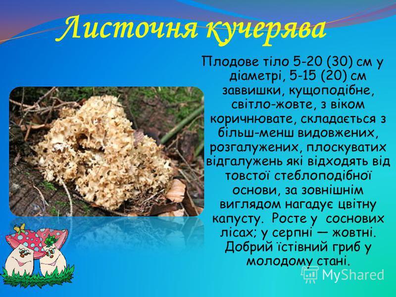 Листочня кучерява Плодове тіло 5-20 (30) см у діаметрі, 5-15 (20) см заввишки, кущоподібне, світло-жовте, з віком коричнювате, складається з більш-менш видовжених, розгалужених, плоскуватих відгалужень які відходять від товстої стеблоподібної основи,