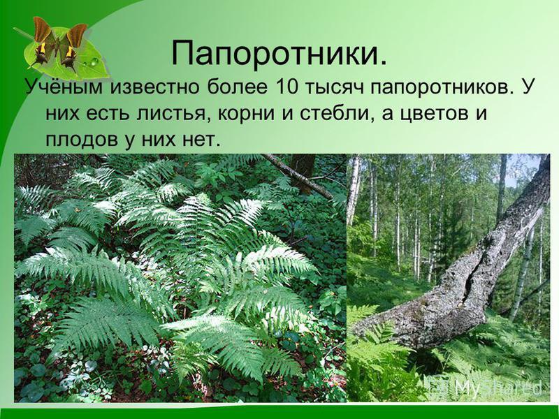 Папоротники. Учёным известно более 10 тысяч папоротников. У них есть листья, корни и стебли, а цветов и плодов у них нет.