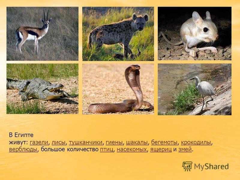 В Египте живут: газели, лисы, тушканчики, гиены, шакалы, бегемоты, крокодилы,газелилисытушканчикигиенышакалыбегемотыкрокодилы верблюды, большое количество птиц, насекомых, ящериц и змей.птицнасекомыхящерицзмей
