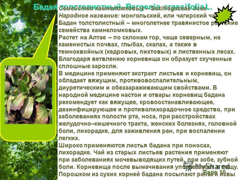 Free Powerpoint Templates Page 10 Бадан толстолистный–Bergenia crassifolia L. Семейство камнеломковых – Saxifragaceae Juss Народное название: монгольский, или чагирский чай. Бадан толстолистный – многолетнее травянистое растение семейства камнеломков