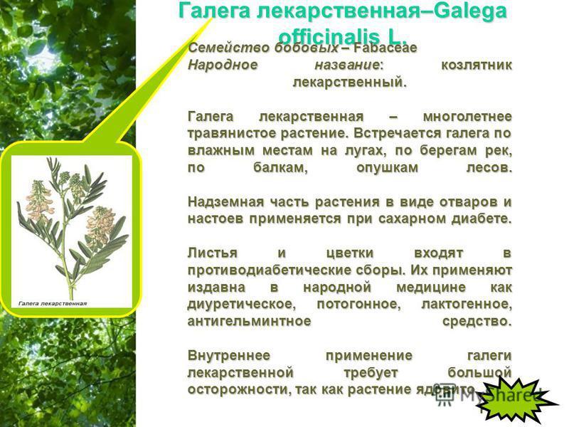 Free Powerpoint Templates Page 11 Галега лекарственная–Galega officinalis L. Семейство бобовых – Fabaceae Народное название: козлятник лекарственный. Галега лекарственная – многолетнее травянистое растение. Встречается галега по влажным местам на луг