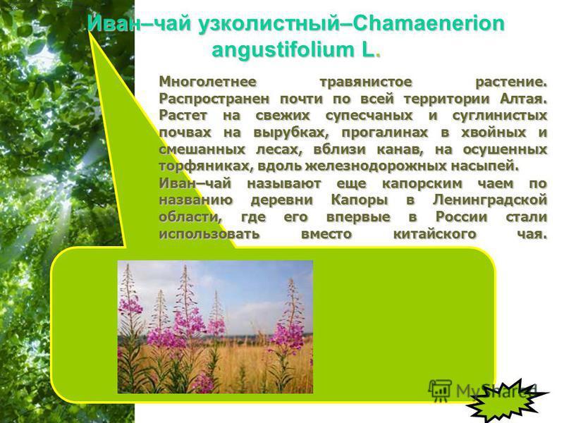 Free Powerpoint Templates Page 16 Иван–чай узколистный–Chamaenerion angustifolium L. Семейство кипрейных – Onagraceae Народное название: кипрей, капорский чай. Многолетнее травянистое растение. Распространен почти по всей территории Алтая. Растет на