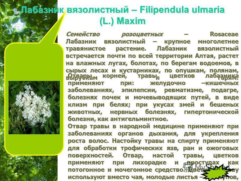 Free Powerpoint Templates Page 19 Лабазник вязолистный – Filipendula ulmaria (L.) Maxim Семейство розоцветных – Rosaceae Лабазник вязолистный – крупное многолетнее травянистое растение. Лабазник вязолистный встречается почти по всей территории Алтая,