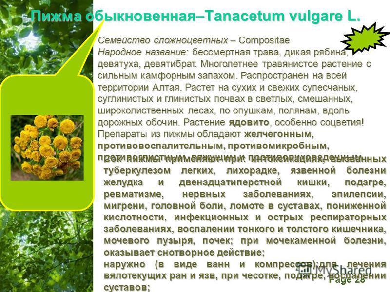 Free Powerpoint Templates Page 28 Пижма обыкновенная–Tanacetum vulgare L. Семейство сложноцветных – Compositae Народное название: бессмертная трава, дикая рябина, девятуха, девятибрат. Многолетнее травянистое растение с сильным камфорным запахом. Рас