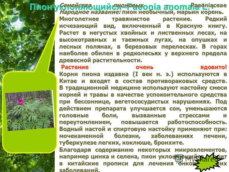 Free Powerpoint Templates Page 29 Пион уклоняющийся–Paeonia anomala L.+ Семейство пионовых – Paeoniaceae Народное название: пион необычный, марьин корень. Многолетнее травянистое растение. Редкий исчезающий вид, включенный в Красную книгу. Растет в н