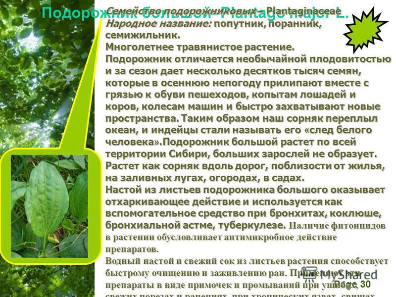 Free Powerpoint Templates Page 30 Подорожник большой–Plantago major L. Семейство подорожниковых – Plantaginaceae Народное название: попутник, поранник, семижильник. Многолетнее травянистое растение. Подорожник отличается необычайной плодовитостью и з