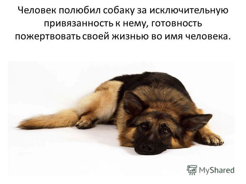Человек полюбил собаку за исключительную привязанность к нему, готовность пожертвовать своей жизнью во имя человека.