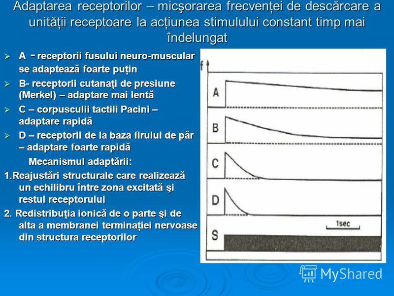 Adaptarea receptorilor – micşorarea frecvenţei de descărcare a unităţii receptoare la acţiunea stimulului constant timp mai îndelungat A - receptorii fusului neuro-muscular se adaptează foarte puţin A - receptorii fusului neuro-muscular se adaptează