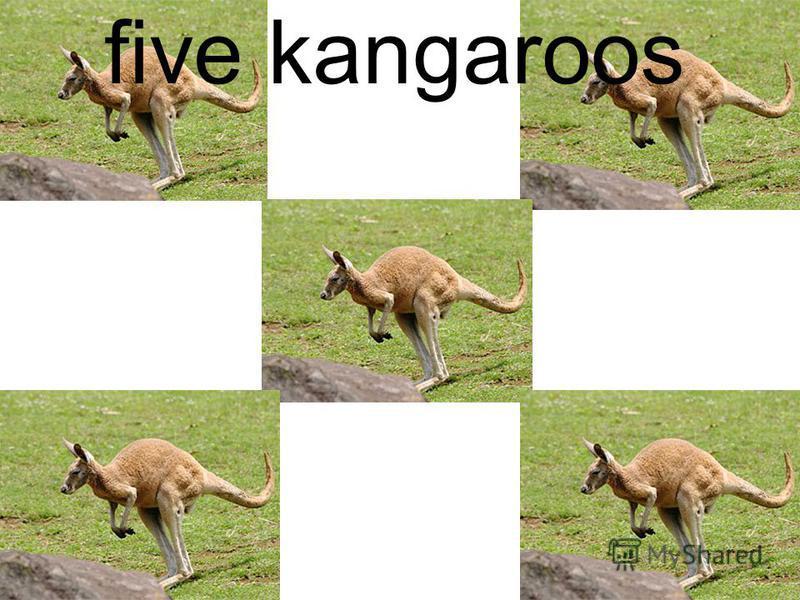 five kangaroos