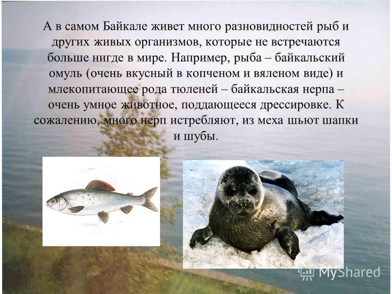 А в самом Байкале живет много разновидностей рыб и других живых организмов, которые не встречаются больше нигде в мире. Например, рыба – байкальский омуль (очень вкусный в копченом и вяленом виде) и млекопитающее рода тюленей – байкальская нерпа – оч
