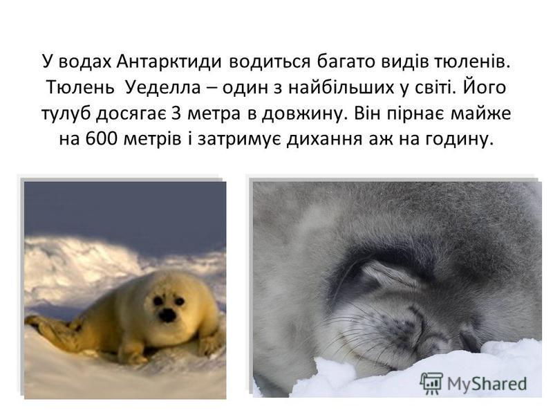 У водах Антарктиди водиться багато видів тюленів. Тюлень Уеделла – один з найбільших у світі. Його тулуб досягає 3 метра в довжину. Він пірнає майже на 600 метрів і затримує дихання аж на годину.