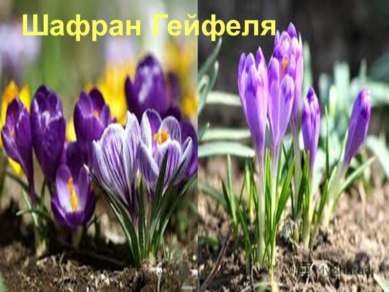 Шафран Гейфеля