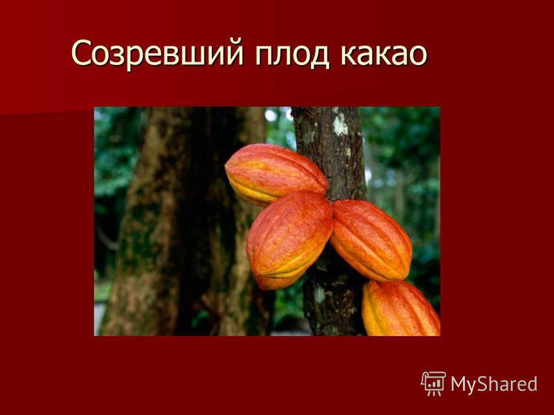 Созревший плод какао