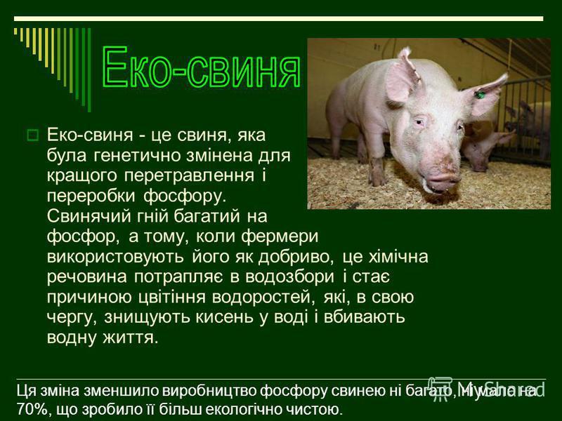 Еко-свиня - це свиня, яка була генетично змінена для кращого перетравлення і переробки фосфору. Свинячий гній багатий на фосфор, а тому, коли фермери використовують його як добриво, це хімічна речовина потрапляє в водозбори і стає причиною цвітіння в